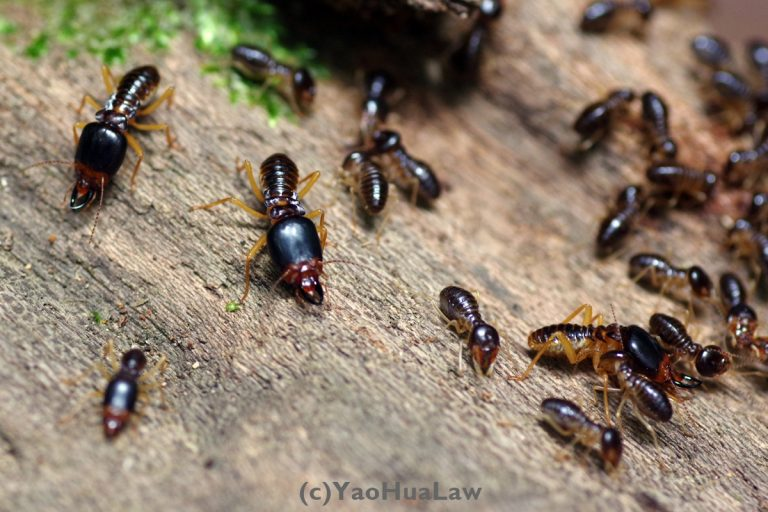 Macrotermes termites foraging on forest floor in Malaysia