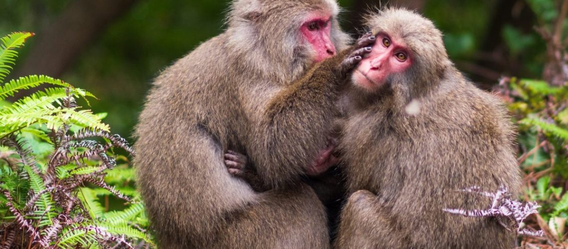 Two macaques grooming in Yakushima National Park, Japan.